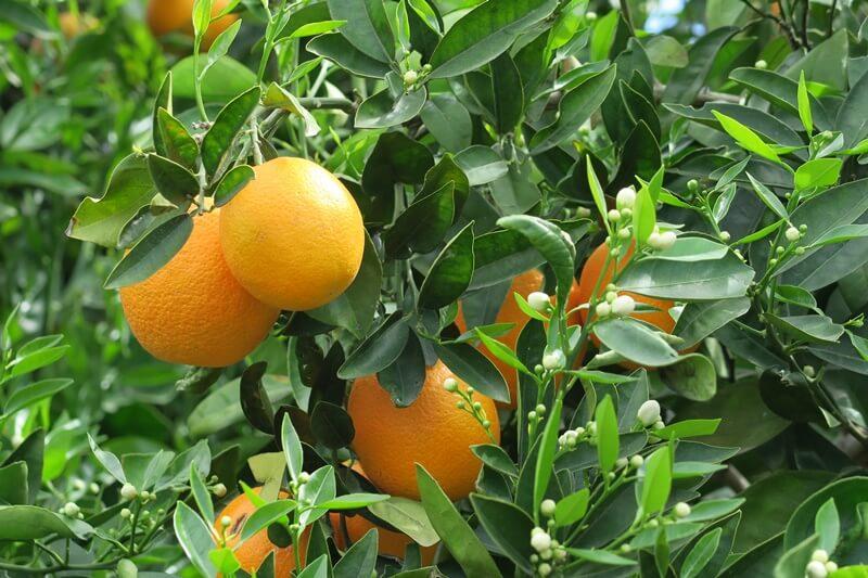 Limassol Genuss-mit-fernweh.de Reisebericht Zypern Zitrusplantage Orangen Orangenbaum
