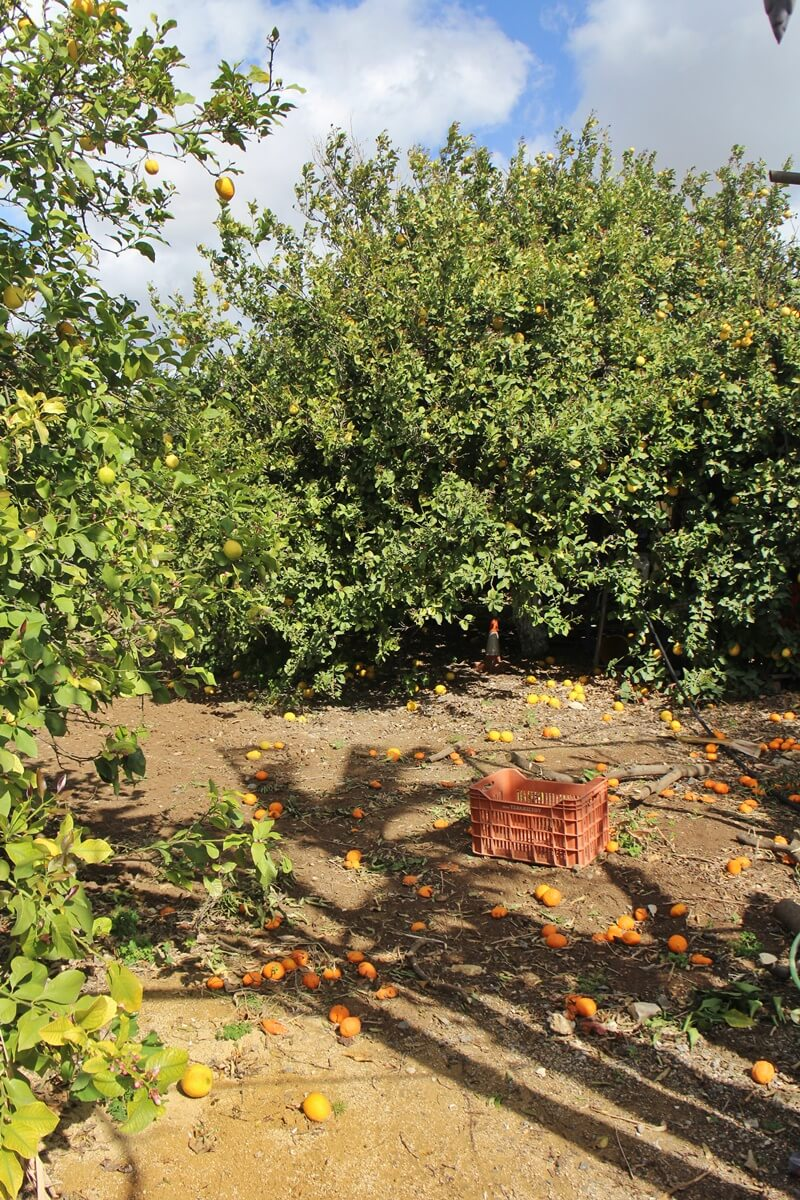 Limassol Genuss-mit-fernweh.de Reisebericht Zypern Zitrusplantage Zitrusbäume Orangenbäume