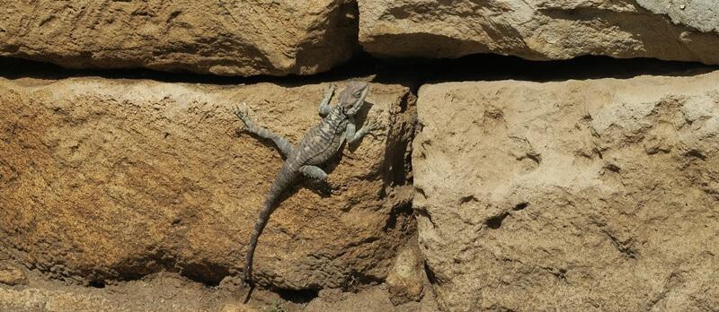 Limassol Genuss-mit-fernweh.de Reisebericht Zypern Eidechse Kolossi Castle