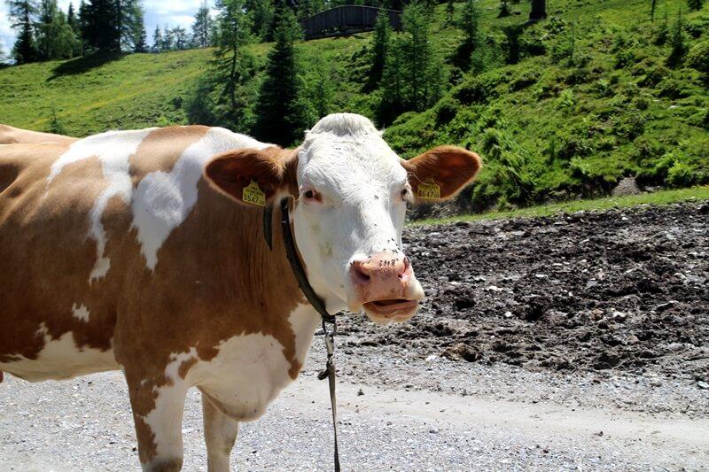 Griessenkareck Wanderung Flachau Wagrain Genuss-mit-fernweh.de Wanderstrecke Urlaub in den Bergen Kuh